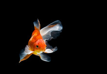 Goldfish Isolated On A Dark Bl...