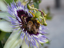 Passiflora And Bubble Bee With Blur Background