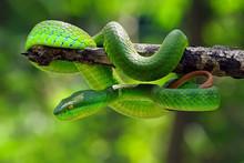 Poisonous Green Snake, Viper S...