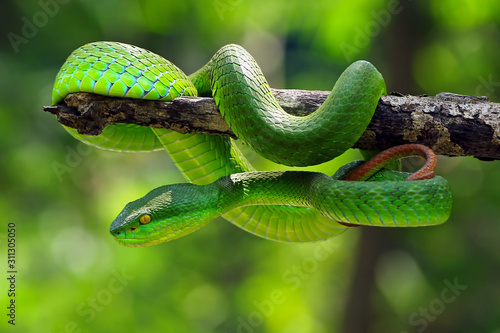 Fototapeta poisonous green snake, viper snake, Trimisurus albolabris