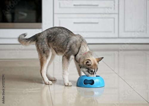 Obraz Funny husky puppy eating from bowl in kitchen - fototapety do salonu