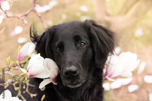 Fotografie, Tablou Flat Coated Retriever