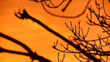 Sunset Between The Branches Of...