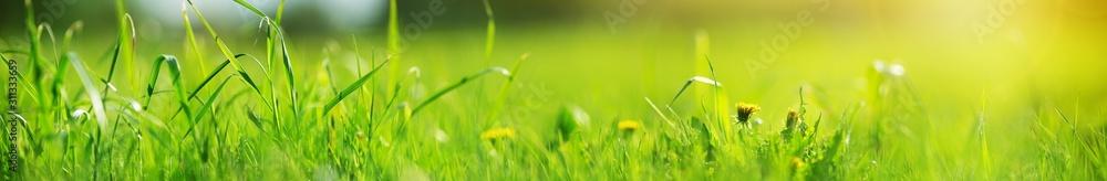 Fresh green grass background in sunny summer day