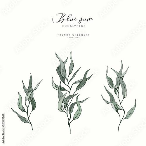 Fototapeta Eucalyptus blue gum branch. Hand drawn wedding herb, plant elegant leaves for invitation save the date card design. Botanical rustic trendy greenery vector obraz