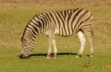 Zebra Grazing On Grass In Sun ...
