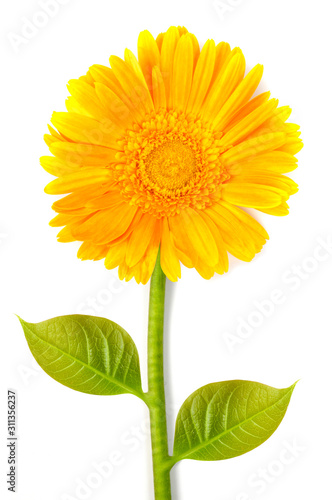 yellow gerbera flower Canvas Print