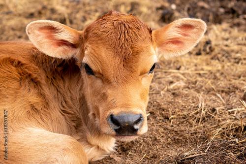 a close up of a calf Fototapete