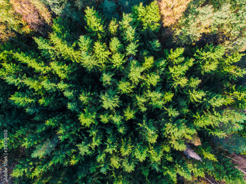Top-down drone view of the mixed forest in sunny autumn day, Toksovo, Leningrad Wallpaper Mural
