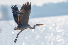 Gray Heron Bird Is Flying On T...
