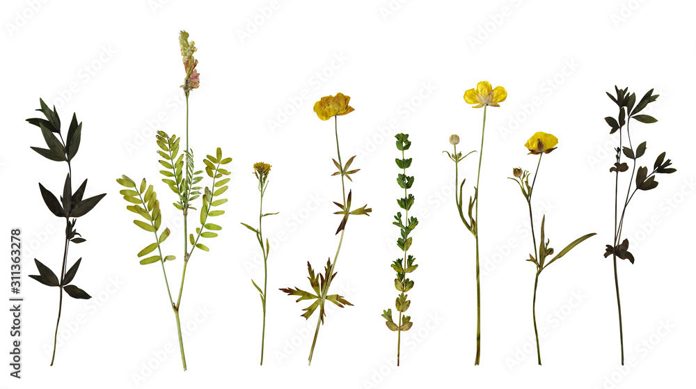 Fototapeta Dry pressed wild flowers and plants isolated on white background. Botanical collection