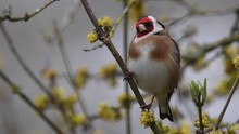 Goldfinch In Yellow Flowers