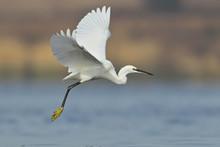 Little Egret Filmed In Flight ...