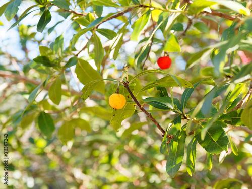 Photo (Arbutus unedo) Westliche Erdbeerbaum in Provence, Früchte in verschiedenen Reif