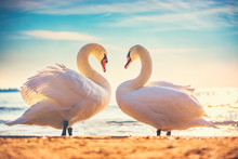 Sea Sunrise Swans Couple In Lo...
