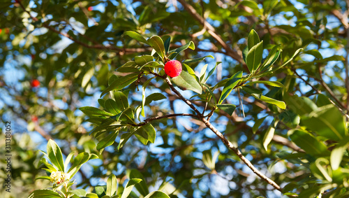 Erdbeerbaum Zweige mit Roten Früchten von Westliche Erdbeerbaum (Arbutus unedo) Canvas Print