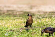 The Great-tailed Grackle Or Mexican Grackle ( Quiscalus Mexicanus) Is A Medium-sized, Highly Social Passerine Bird Native To North And South America