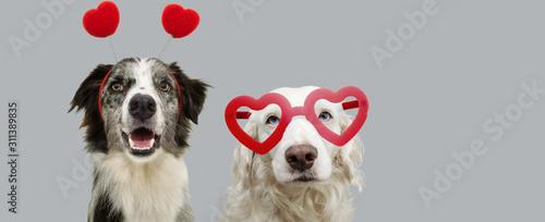 Fototapeta pbanner  two dogs in red heart shaped glasses celebrating valentine's day. Isolated on gray background. obraz