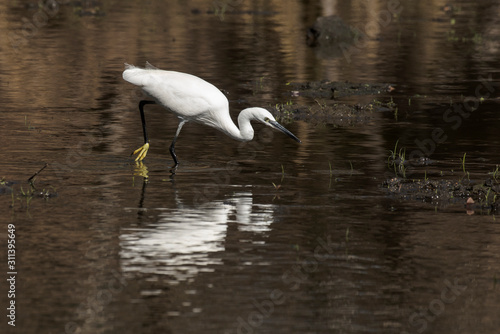Photo Aigrette garzette, .Egretta garzetta, Little Egret,