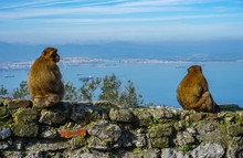 Two Barbary Macaque Sitting On A Wall In Gibraltar And Look To The Sea