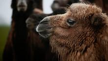 Camel Close Up At Longleat Safari Park