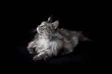 Studio Portrait Of Maine Coon ...