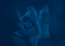 Beautiful Fairy Dreamy Magic Rose Flower On Faded Blurry Background. Natural Eco Backdrop Wallpaper Nature With Copyspace. Toned With Classic Blue 2020 Colour.