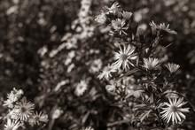 Daisy Flower On A Meadow, Autu...