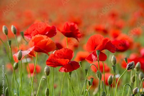 Obraz maki   poppies-field