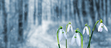 White Tender Snowdrops In The ...