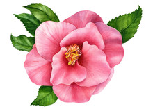 Pink Camellia Flower On An Iso...