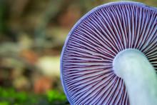 Close-up Of Purple Mushroom Gills (Cortinarius Iodes)