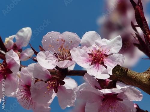 Fototapety, obrazy: peach blossom