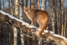 Adult Female Cougar (Puma Concolor) Tail Curled Around Branch Winter