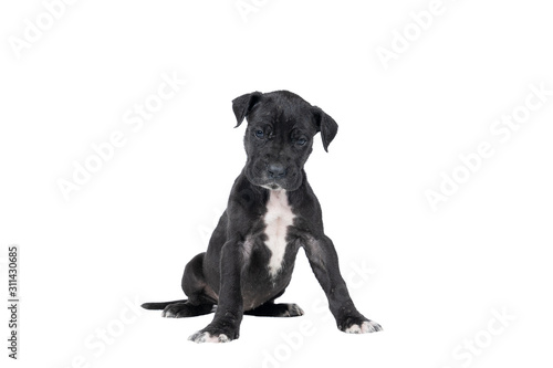 Fototapeta A puppy of the Great Dane Dog or German Dog, the largest dog breed in the world, black with white spots, sitting isolated in white background obraz