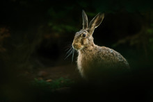Hare In The Natural Environmen...