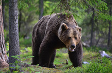 Big Adult Male Of Brown Bear I...