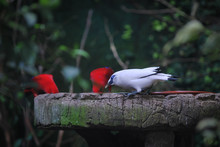 A Bali Mynah Drinking Water At A Fontain With Two Red Birds. This Beautiful Bird Has A White Plumage And Blue Eyes