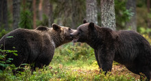 Male And Female Brown Bears Sniff At Each Other During The Mating Season. Scientific Name: Ursus Arctos.