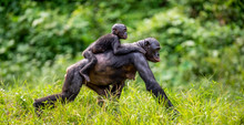 Bonobo Cub On The Mother's Bac...