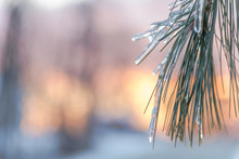 Pine Needles Covered In Ice At...