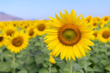 Beautiful Sunflower  Field On ...