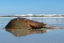 Horseshoe Crab On Ocean Shore