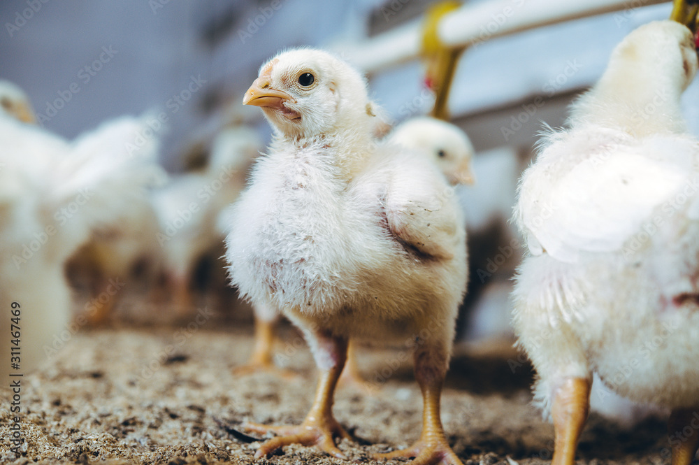 little small broiler poultry white chick bird
