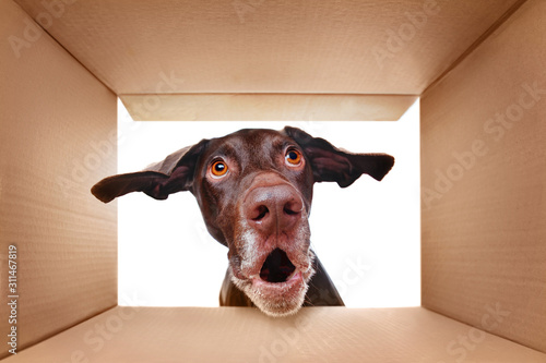 Valokuva Pointer dog looking into the box with surprise