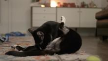 Indoor Tuxedo Cat Cleaning Him...