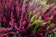 Beautiful Red, White And Pink Heather Blossoms Closeup. Autumn Flowers Heather Background.