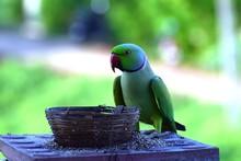 Indian Ring Neck Parrot Bird