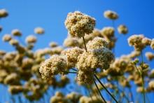 California Buckwheat Flower Against Blue Sky.