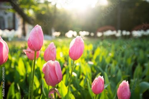 Fotomural  Pink tulip flowers in spring
